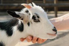 Adorable little goat being petted Stock Images