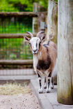 Adorable little goat Royalty Free Stock Photography