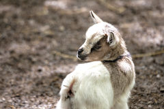 Adorable little goat at zoo Royalty Free Stock Photos