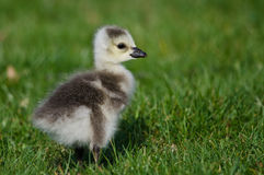 Adorable Little Gosling Looking for Food in the Green Grass Royalty Free Stock Photos