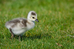 Adorable Little Gosling Looking for Food in the Green Grass Royalty Free Stock Image