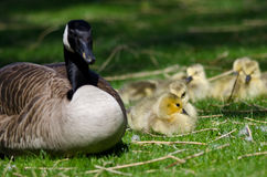 Adorable Little Goslings Resting Beside Mom in the Green Grass Royalty Free Stock Photo