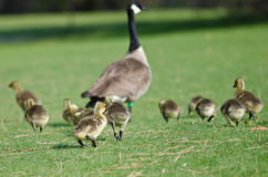 Adorable Little Goslings Running to Catch Mom. Adorable Little Goslings Running to Catch Up With Mom Royalty Free Stock Images