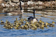 Adorable Little Goslings Swimming with Mom Stock Images