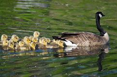 Adorable Little Goslings Swimming with Mom Royalty Free Stock Photography