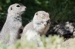 Adorable Little Ground Squirrel Rubbing His Face. With Eyes Closed royalty free stock image