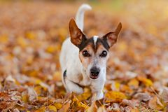 Adorable little Jack Russell dog is running fast in autumn leaves royalty free stock image