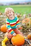 Adorable little kid boy picking pumpkins on Halloween pumpkin patch. Child playing in field of squash. Kid pick ripe vegetables on a farm in Thanksgiving Royalty Free Stock Image