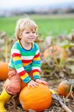Adorable little kid boy picking pumpkins on Halloween pumpkin patch. Royalty Free Stock Photo