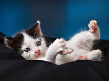 Adorable little kitten Royalty Free Stock Photo