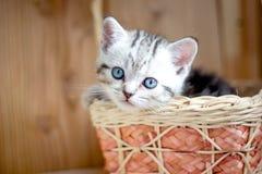Adorable little kitten sitting in a wicker basket. Adorable little kitten sitting in a wicker basket Stock Image