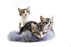 Adorable little kittens from the same litter Royalty Free Stock Images