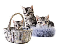 Adorable little kittens from the same litter Stock Photos