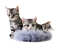 Adorable little kittens from the same litter Royalty Free Stock Photos
