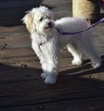 Sweet Little Maltese Puppy Dog on a Leash. Adorable little maltese puppy dog on a leash Stock Images