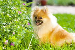 Adorable little pomeranian puppy in green grass Royalty Free Stock Photo