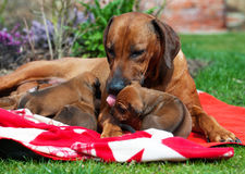 Adorable little puppies with its mother Royalty Free Stock Photo