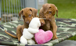 Adorable little puppies playing Royalty Free Stock Photos