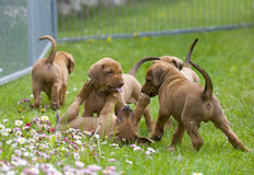 Adorable little puppies playing royalty free stock image