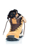 Adorable little puppy asleep in a boot Royalty Free Stock Image