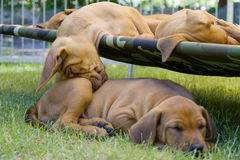 Adorable little puppy funny sleeping position. Beautiful and adorable Rhodesian Ridgeback puppies lying lazy sleeping on their hammock in the backyard. One of Stock Photo