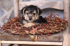 Adorable Little Puppy with Rustic Wreath. An adorable Yorkshire Terrier/Maltese (commonly referred to as Morkies) puppy sits in the middle of a rustic wreath Royalty Free Stock Images