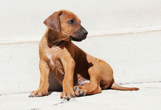 Adorable little puppy sitting Royalty Free Stock Photo