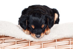 Adorable little puppy sleeping Royalty Free Stock Images