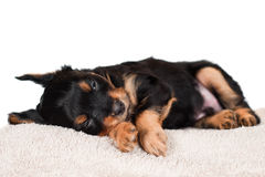 Adorable little puppy sleeping Stock Photo