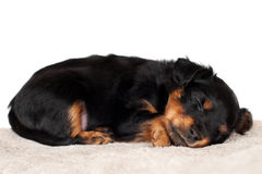 Adorable little puppy sleeping Royalty Free Stock Image