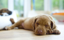 Adorable little puppy sleeping, headshoot Royalty Free Stock Images