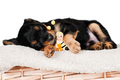 Adorable little puppy sleeping with a toy Royalty Free Stock Images