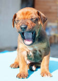Adorable little puppy yawning Stock Photography