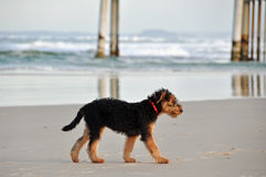 Airedale Terrier pup alone lost on empty surf  Royalty Free Stock Image