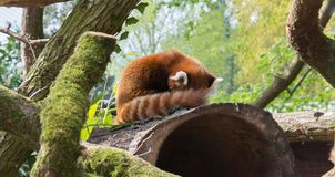 Cute red panda hiding. This adorable little red panda is hiding on his favourite hollow tree, behind its tail Stock Image