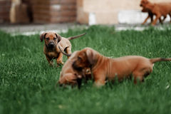 Adorable little Rhodesian Ridgeback puppies. Playing together in garden. Funny expressions in their faces. The little dogs are five weeks of age stock photo
