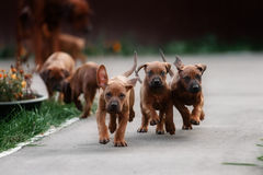 Adorable little Rhodesian Ridgeback puppies Royalty Free Stock Photo