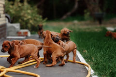 Adorable little Rhodesian Ridgeback puppies Royalty Free Stock Images