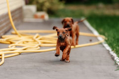 Adorable little Rhodesian Ridgeback puppies Stock Photo
