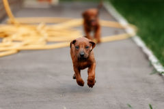 Adorable little Rhodesian Ridgeback puppies Stock Image