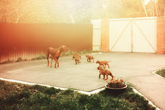 Adorable little Rhodesian Ridgeback puppies Stock Photo