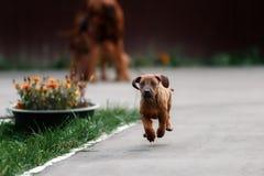 Adorable little Rhodesian Ridgeback puppies Stock Photos
