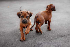Adorable little Rhodesian Ridgeback puppies Royalty Free Stock Photography