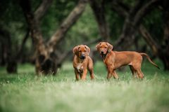 Adorable little Rhodesian Ridgeback puppies playing together in garden. At the park royalty free stock photo