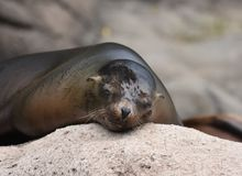 Adorable Little Sleepy Sea Lion on a Rock. Cute Little Sea Lion Sleeping on a Rock Royalty Free Stock Photography