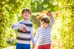 Family fun during harvest time on a farm. Kids playing in autumn. Adorable little two baby boys picking fresh ripe apples in fruit orchard. Family fun during royalty free stock photos