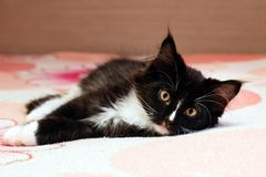 Adorable long haired black and white kitten lying on a bed royalty free stock photos