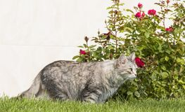 Cute siberian female cat in the garden, silver color Royalty Free Stock Photo