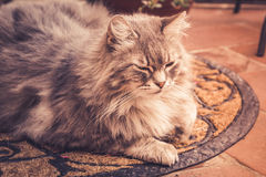 Adorable long haired cat Royalty Free Stock Photography