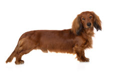 Adorable long haired dachshund dog Royalty Free Stock Photography